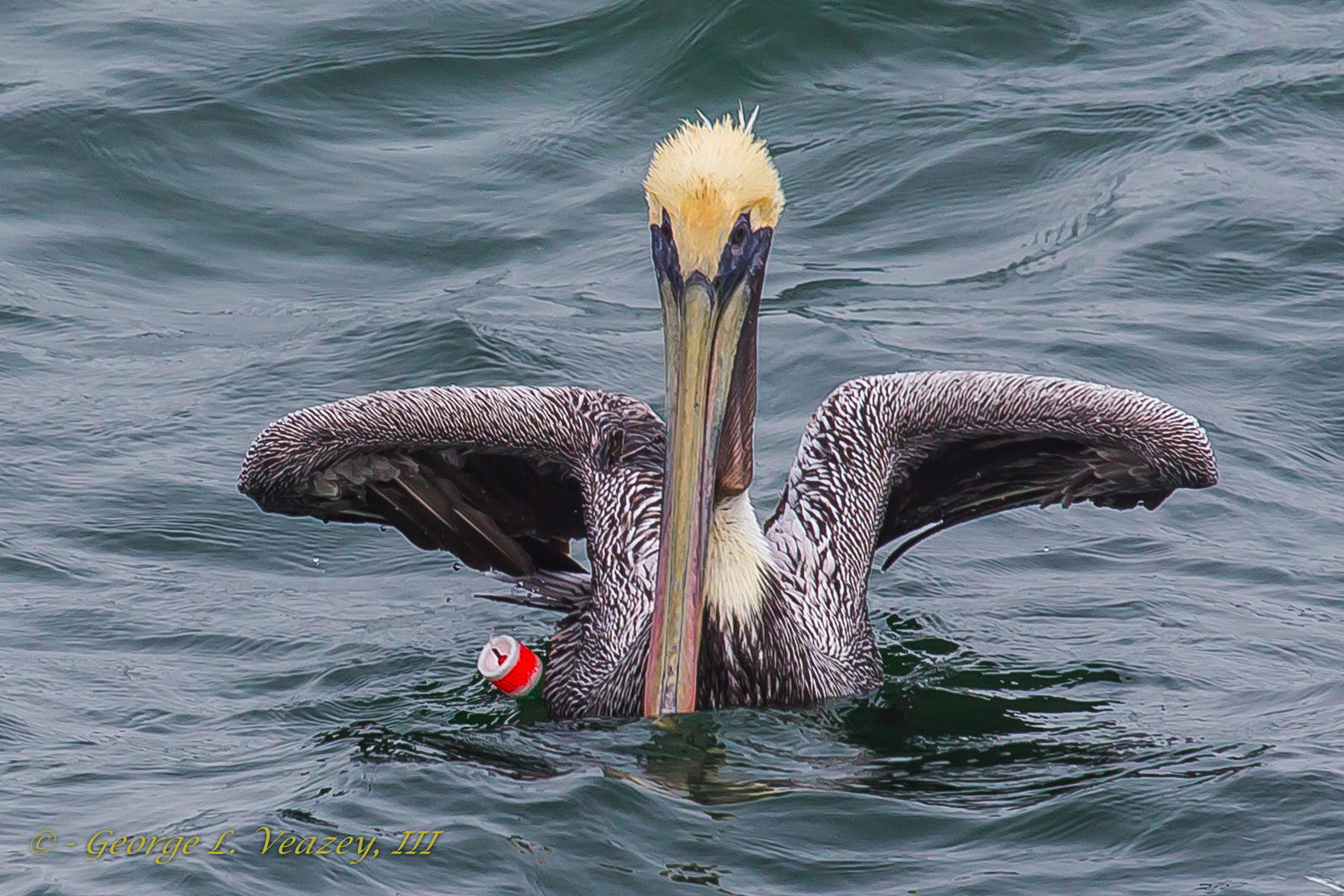 Brown Pelican entangled in fishing gear