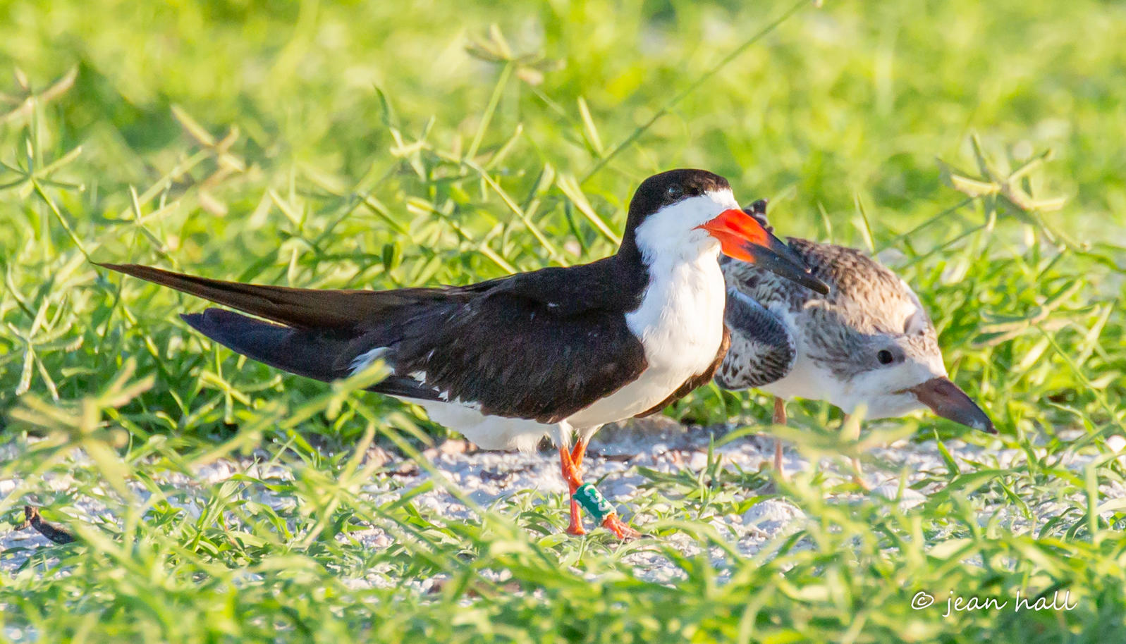 Black Skimmer and chick. Photo: Jean Hall.