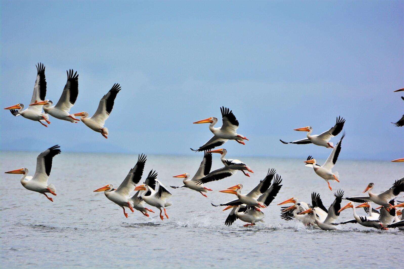 American White Pelicans. Photo: Cindy L. Fullwiler/Audubon Photography Awards.