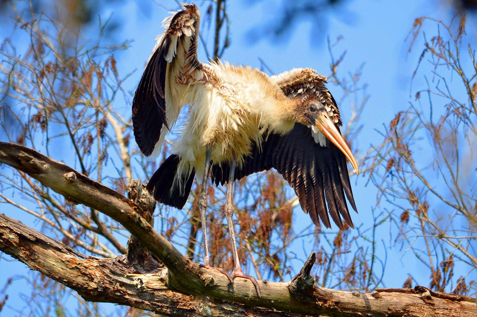 Wood Stork. Photo: Lisa Squicciarini/Audubon Photography Awards.