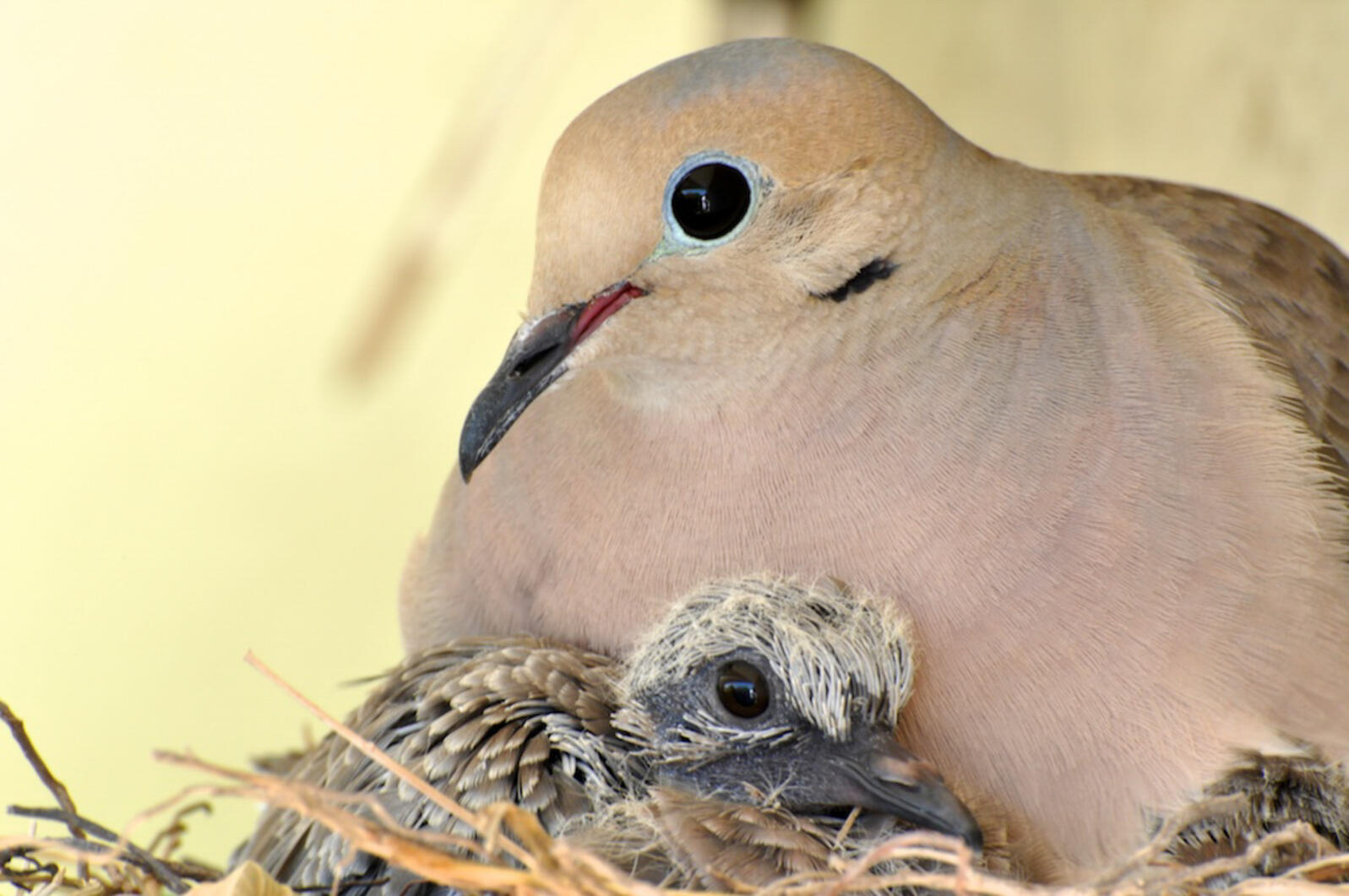 Mourning Dove with chick. Photo: Douglas Croft/Audubon Photography Awards.