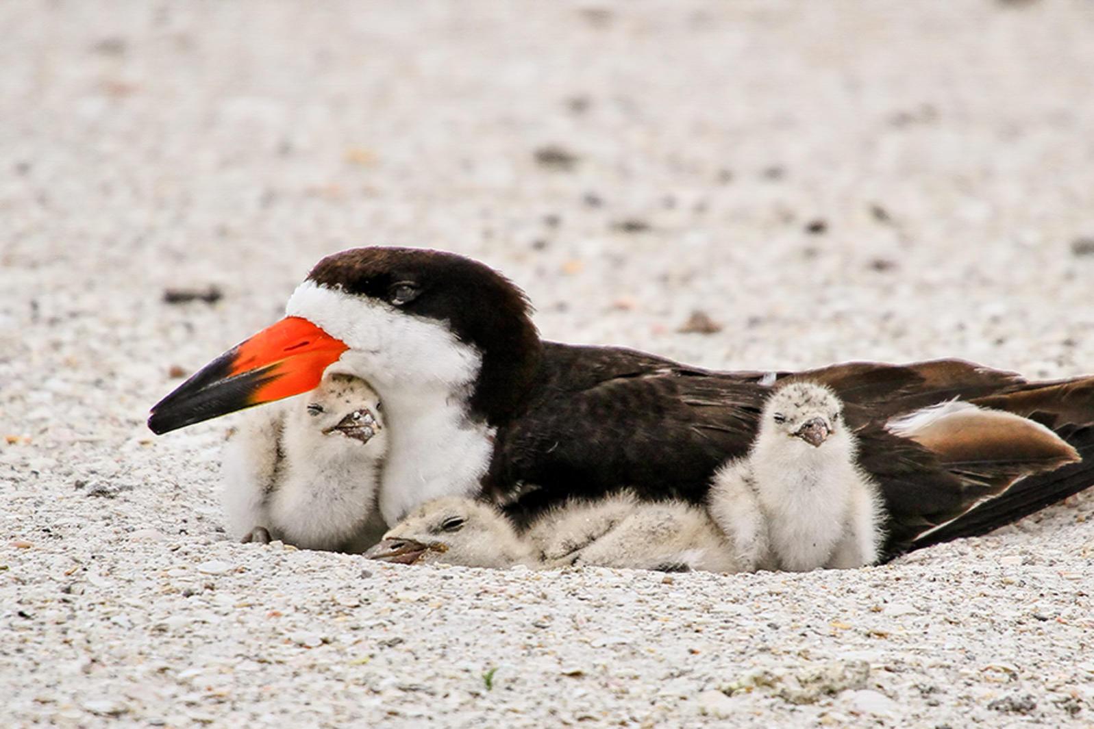 Black Skimmers. Photo: Barbara Bowen.