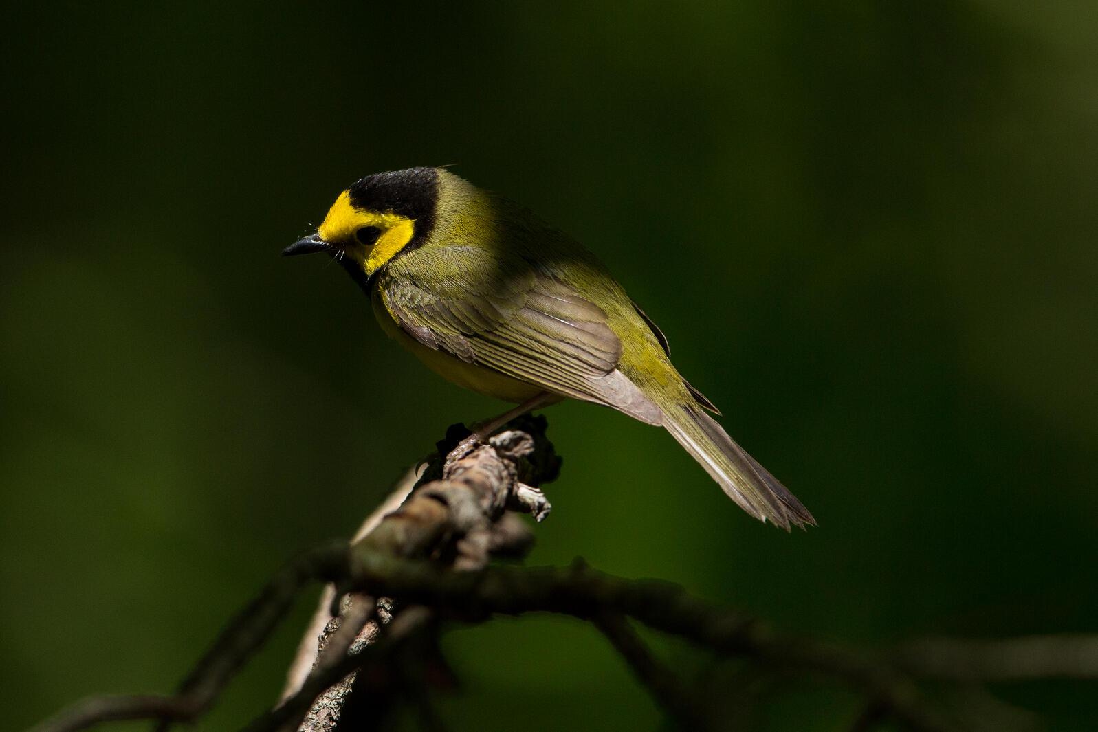 Hooded Warbler. Photo: Gary Robinette/Audubon Photography Awards.