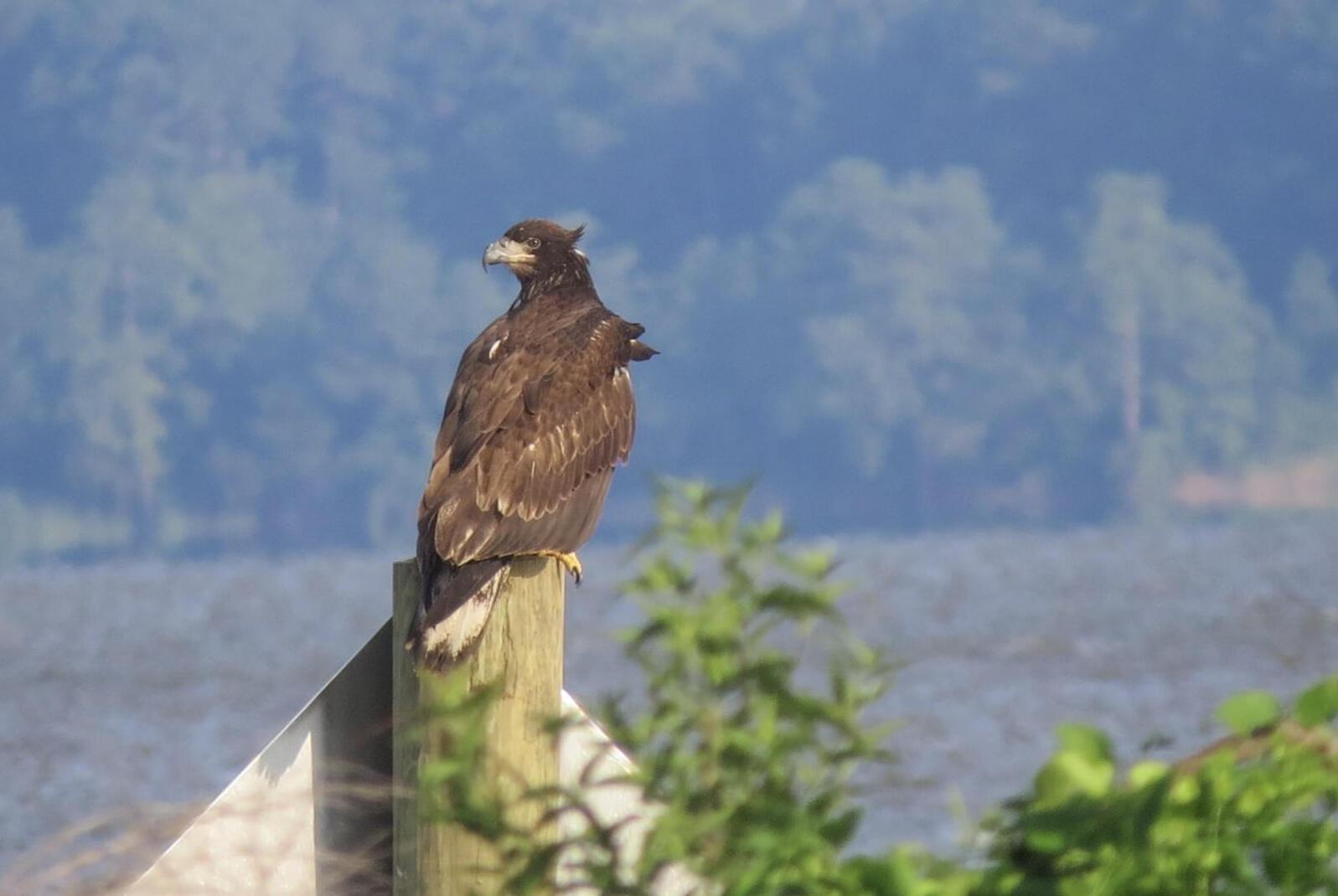 Banded Eagle. Photo: Nancy Barnhart.