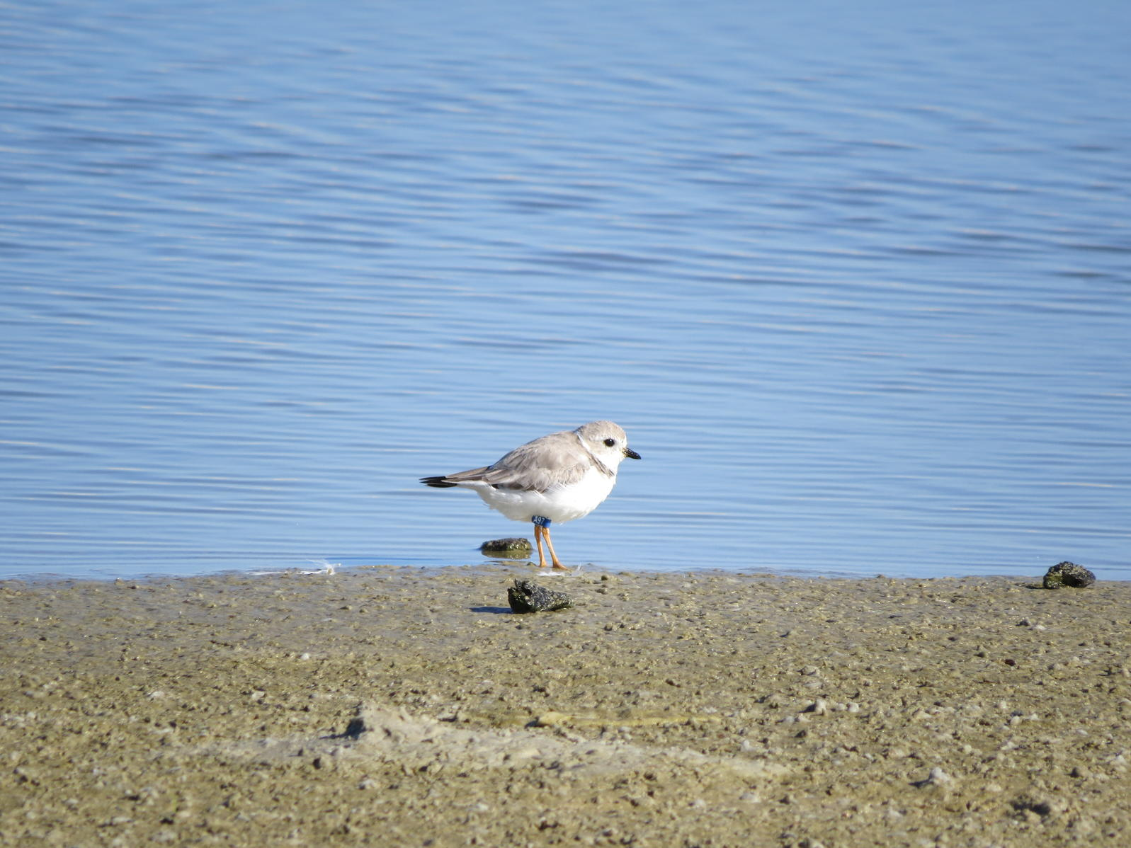 Piping Plover A97