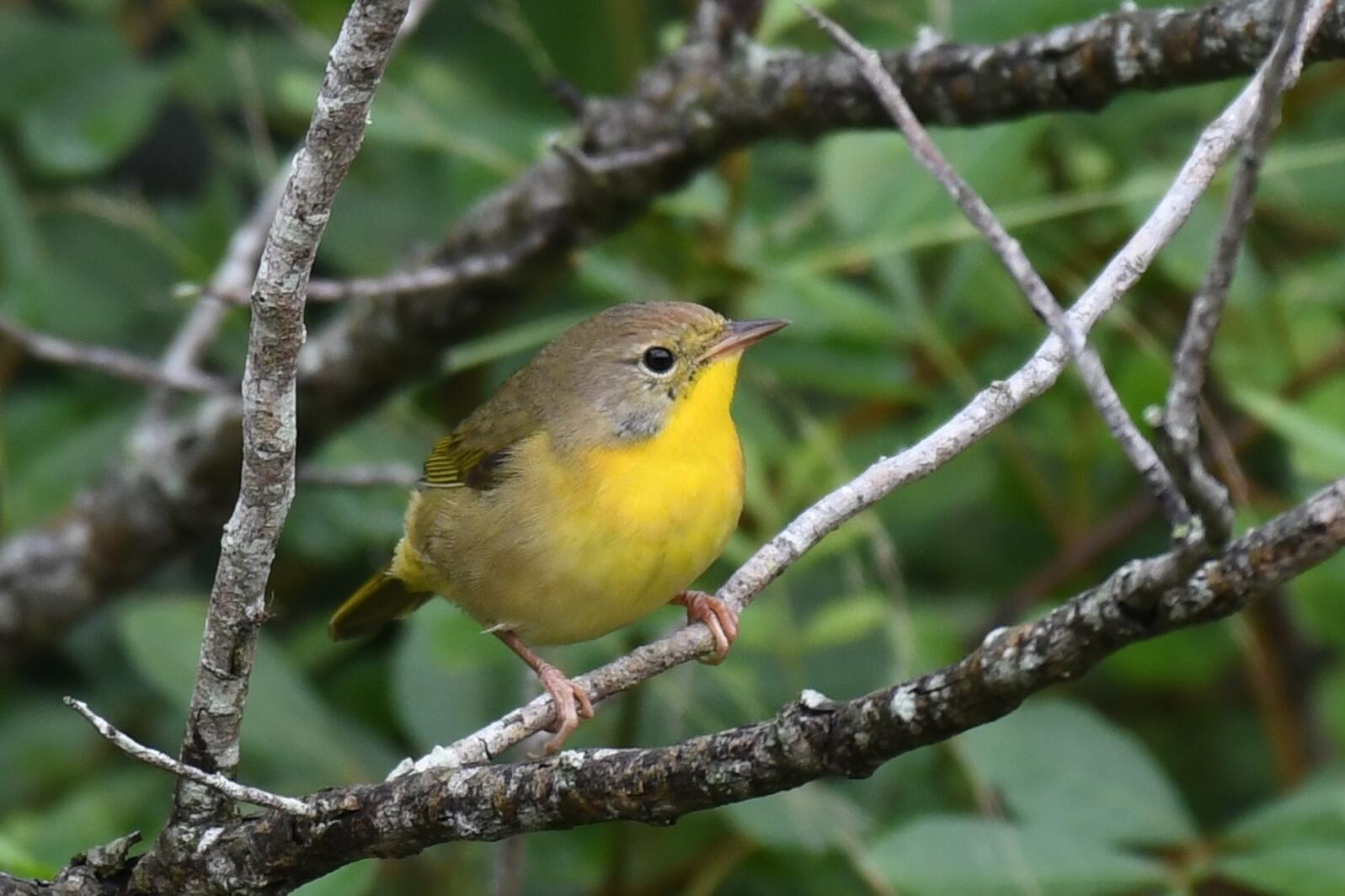 Common Yellowthroat. Photo: John Wolaver.