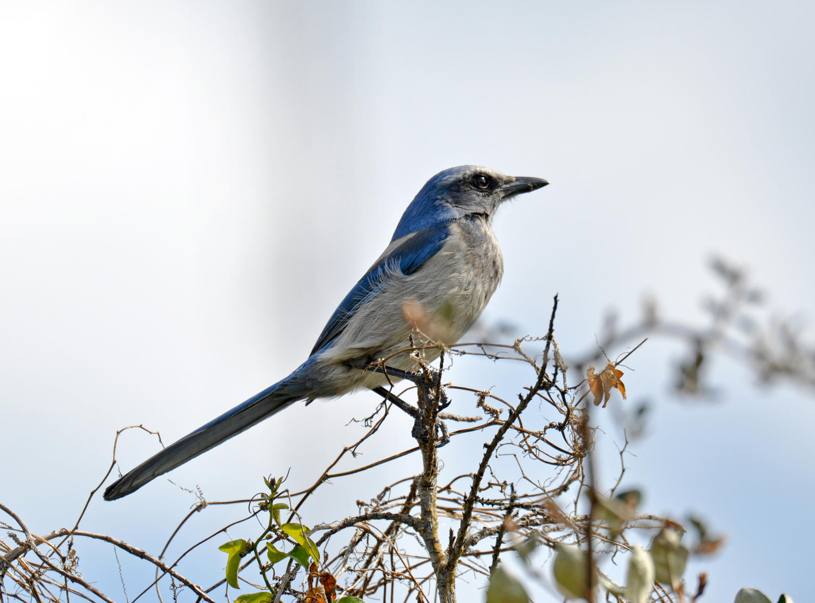 Florida Scrub-Jay. Photo: Louise Hunt / Great Backyard Bird Count.