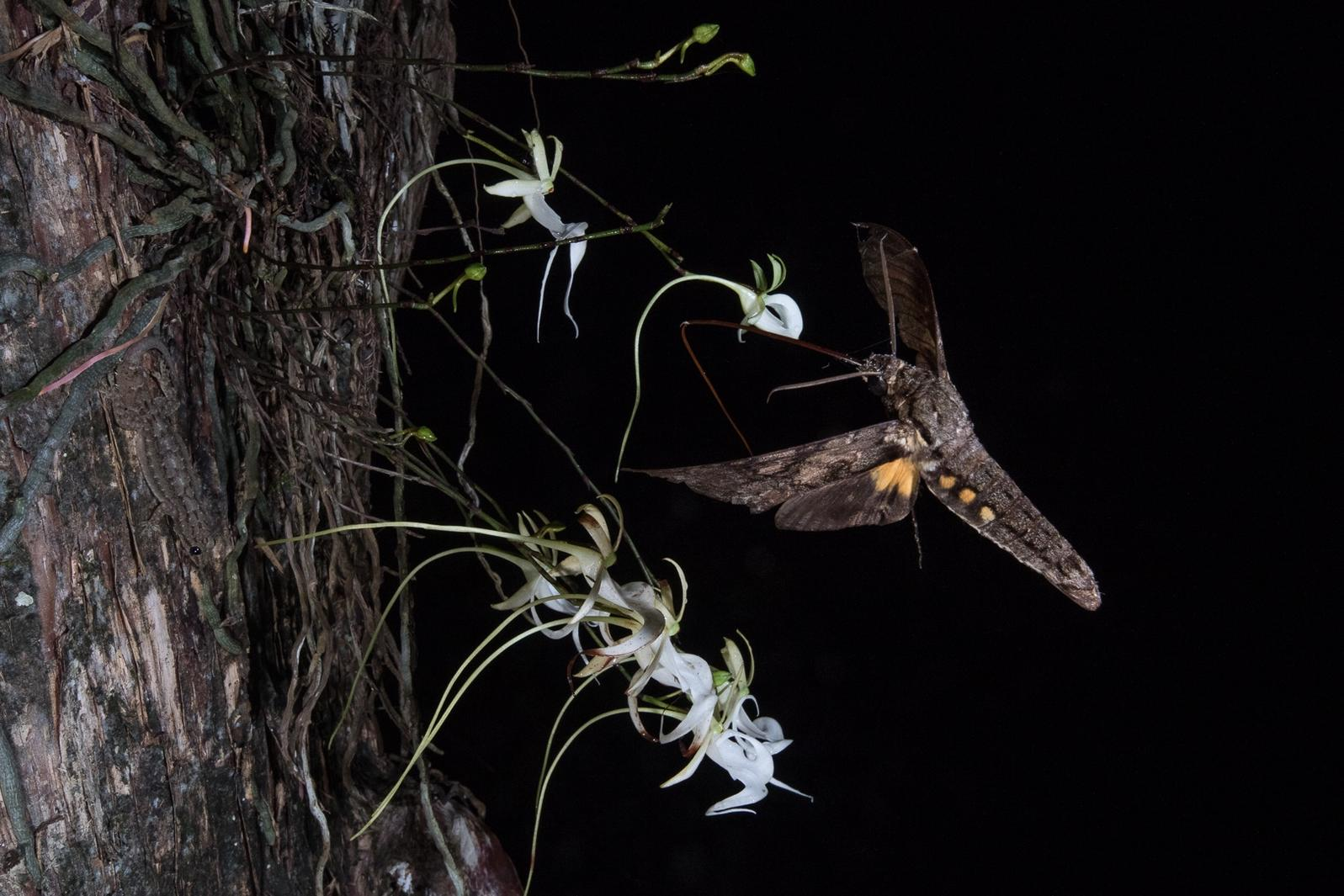Giant Sphinx Moth. Photo by Mac Stone.