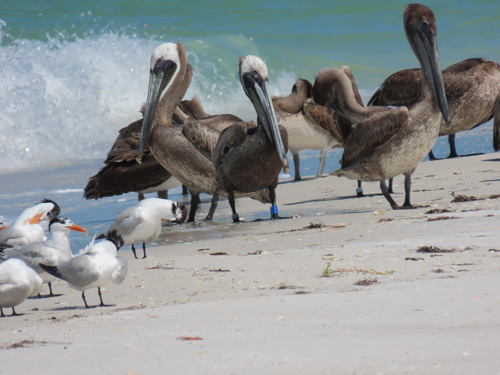 Resting seabirds on Egmont Key, including the banded Brown Pelican.