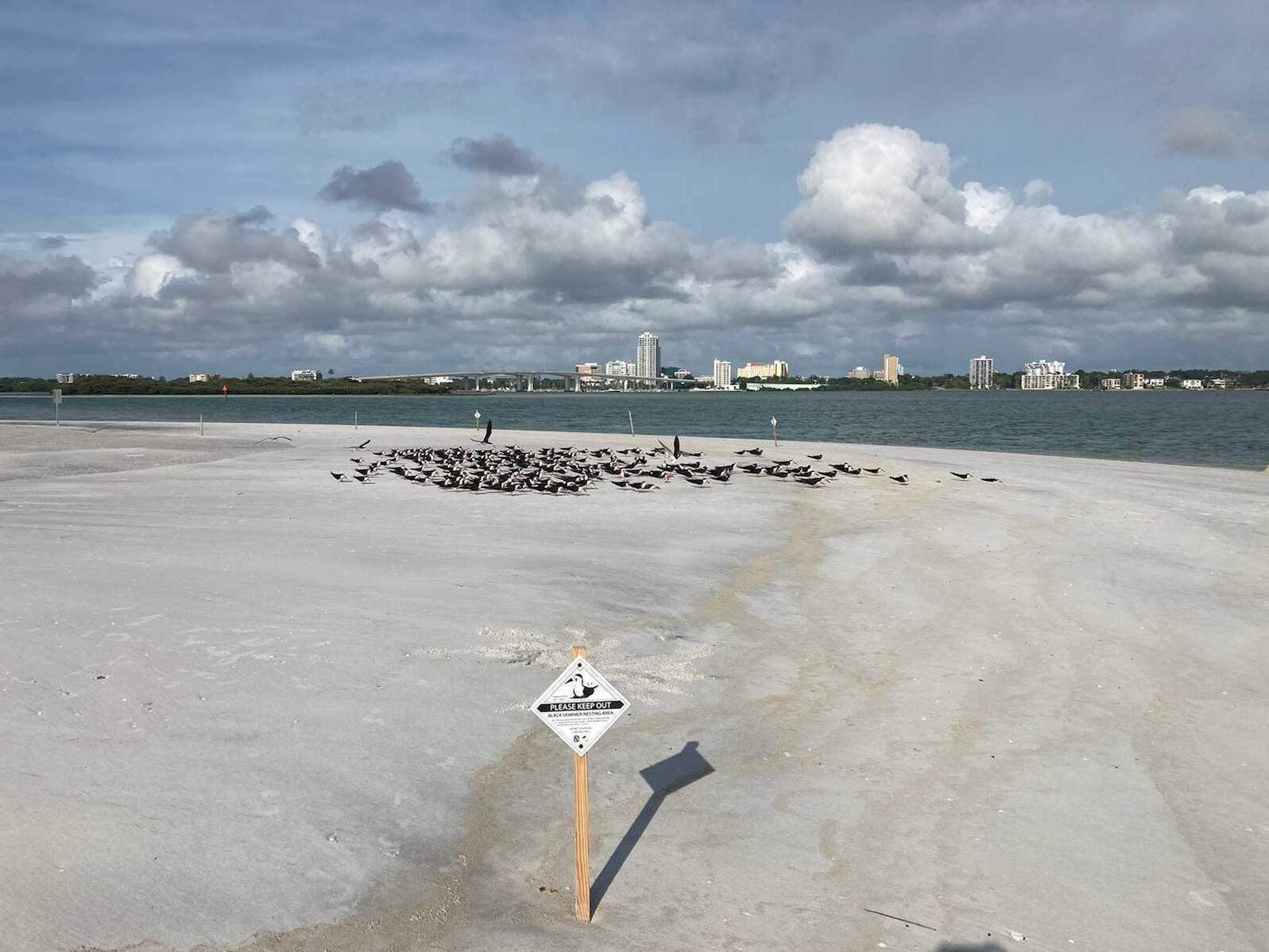 Black Skimmers regroup after Hurricane Elsa.
