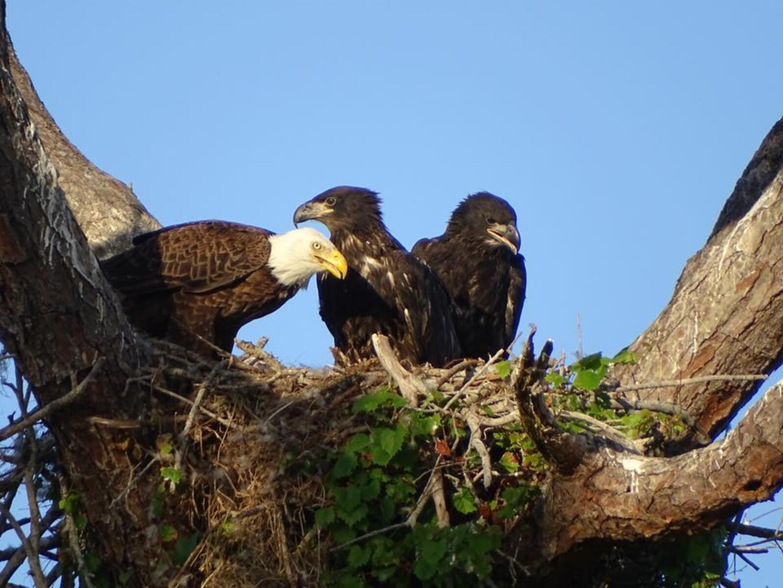 Bald Eagle feeding two large eaglets. Photo: Kelly Ward.