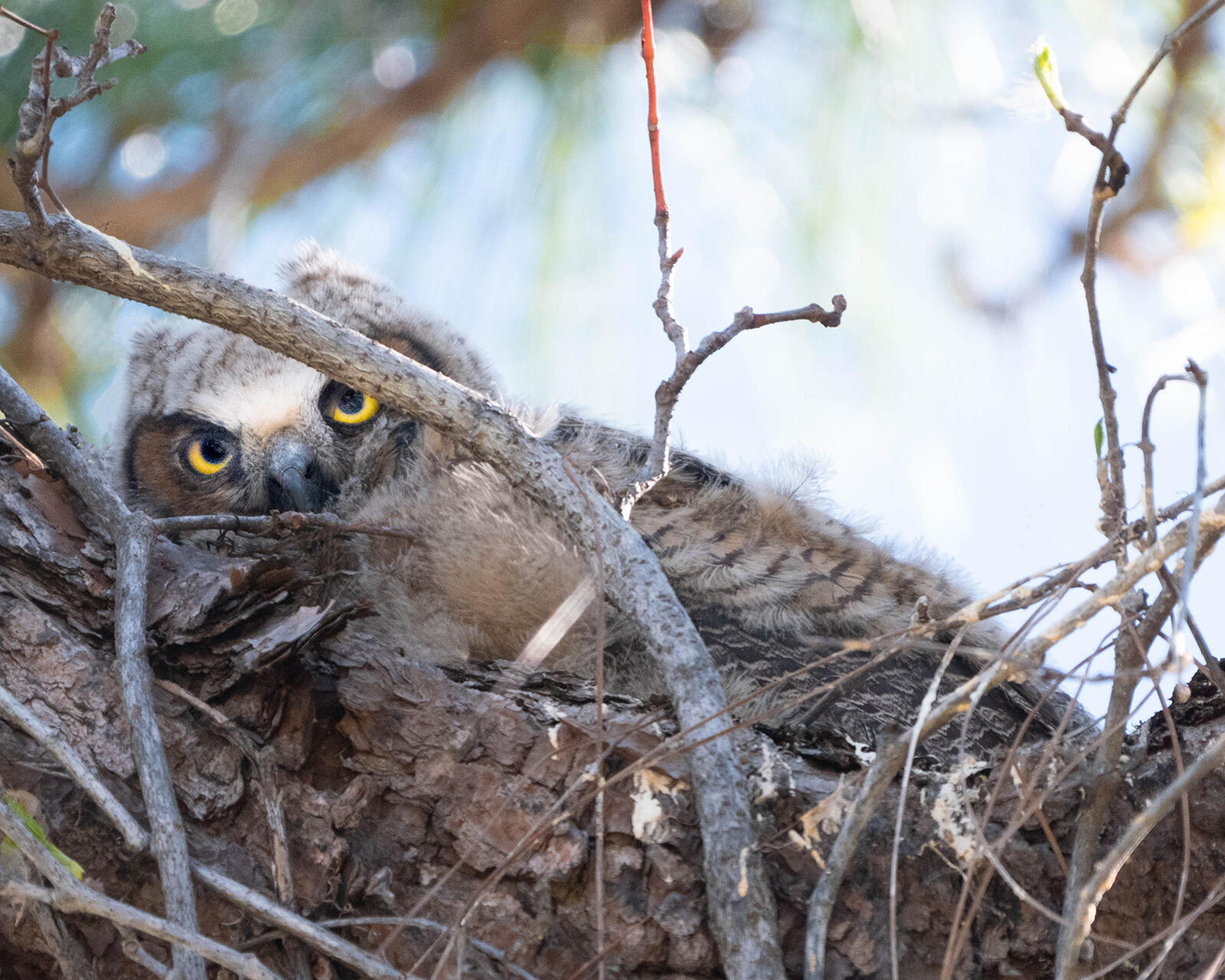 Great Horned Owl. Photo: Cheryl Black.