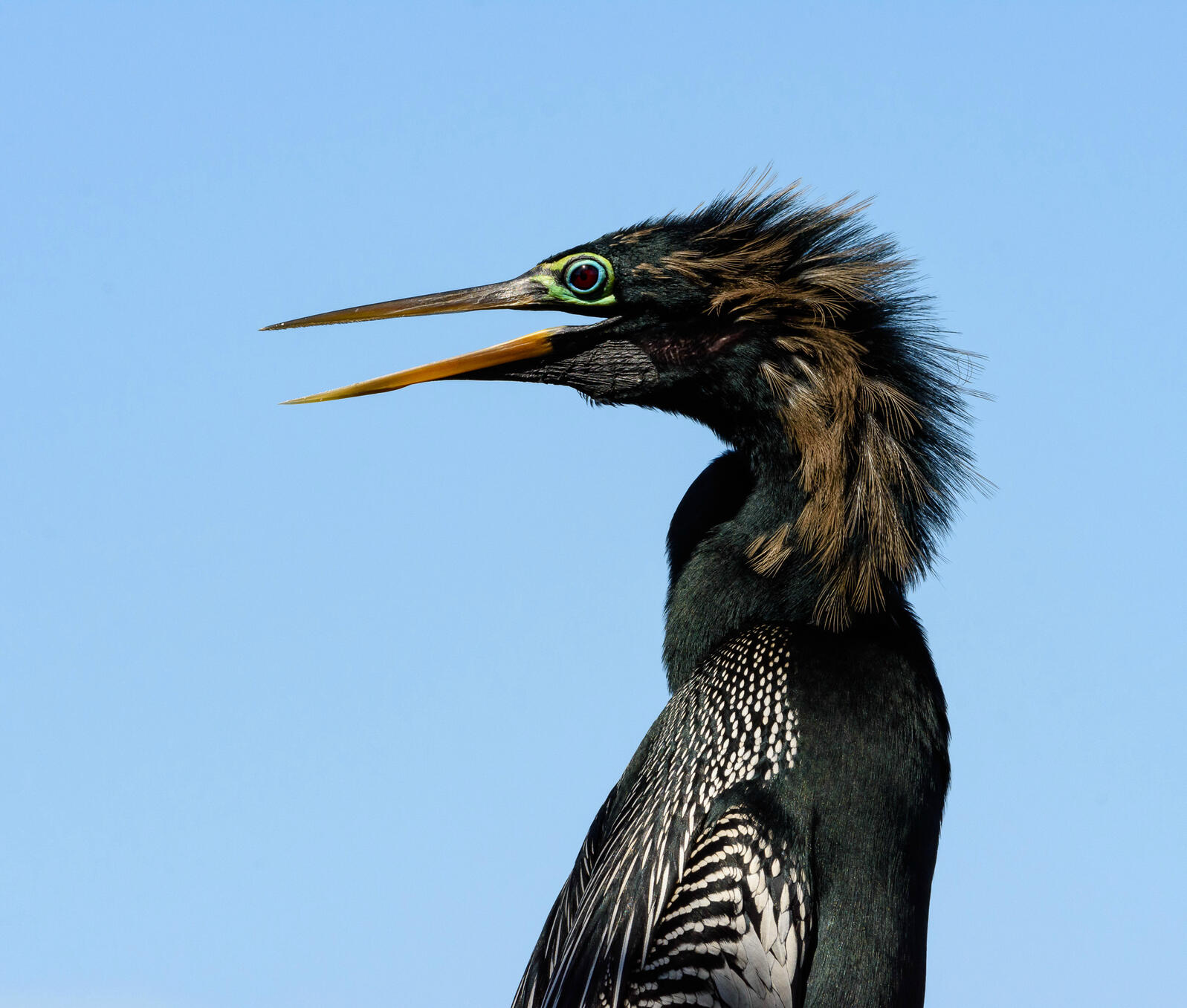 Anhinga. Photo: Trudy Walton/Audubon Photography Awards