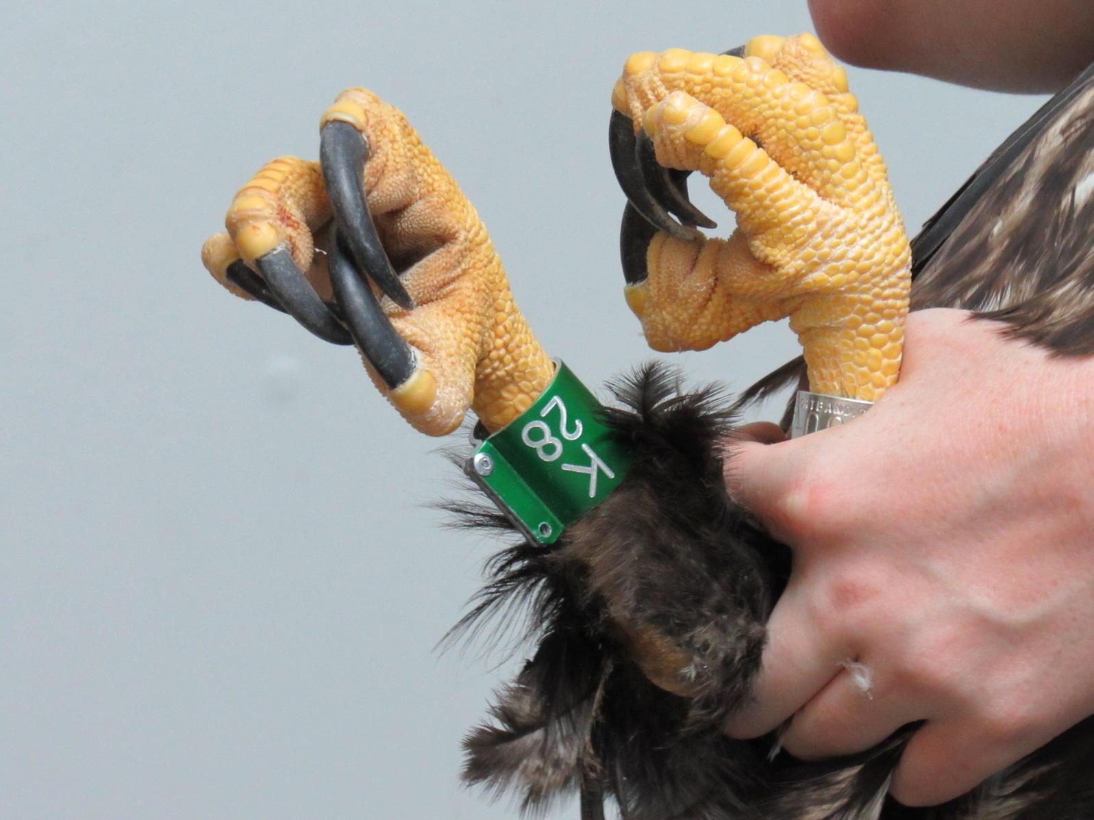 Tagging a bald eagle.