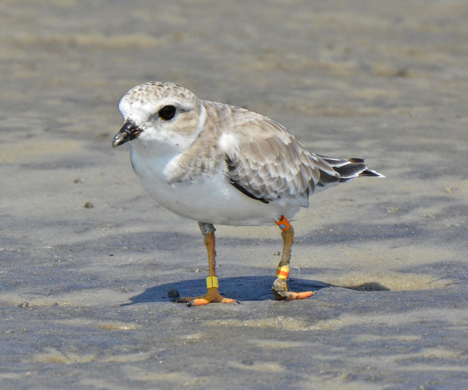 injured Piping Plover