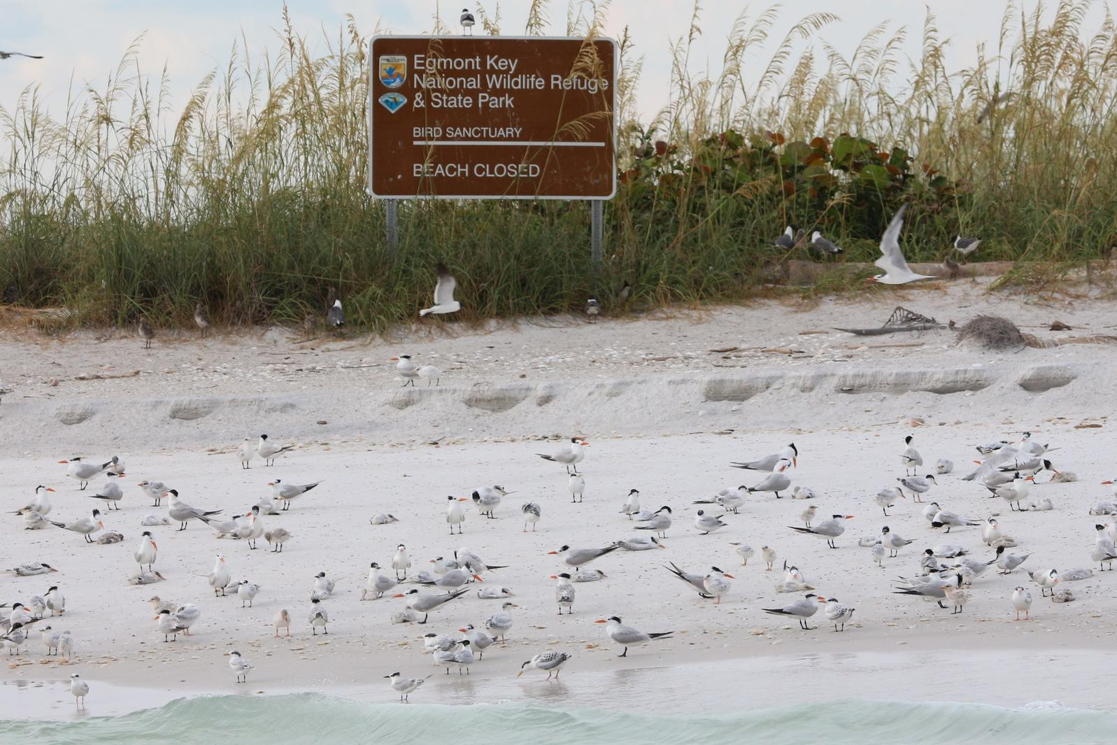 Nesting birds at Egmont Key