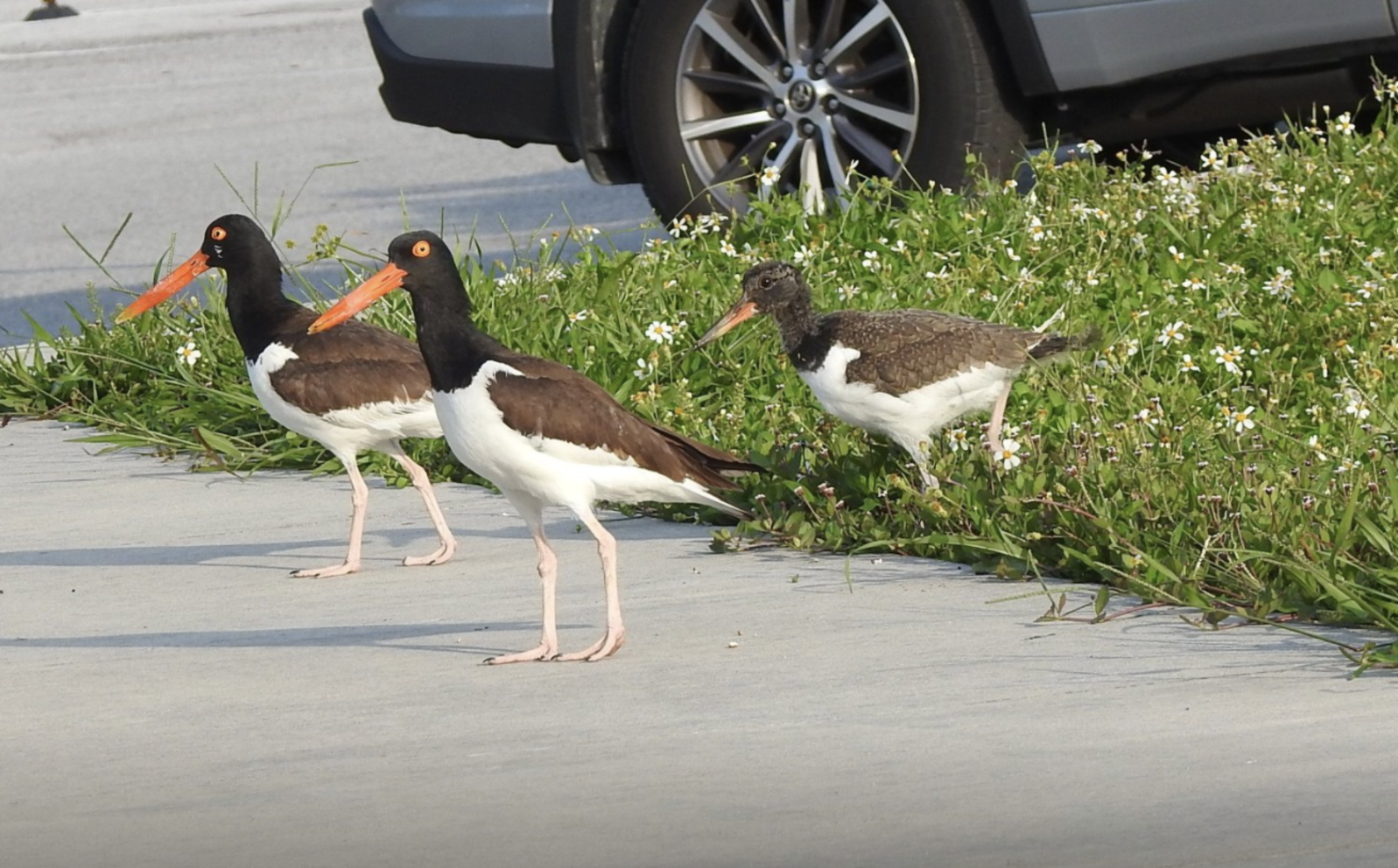 American Oystercatchers. Photo: Wendy Meehan.
