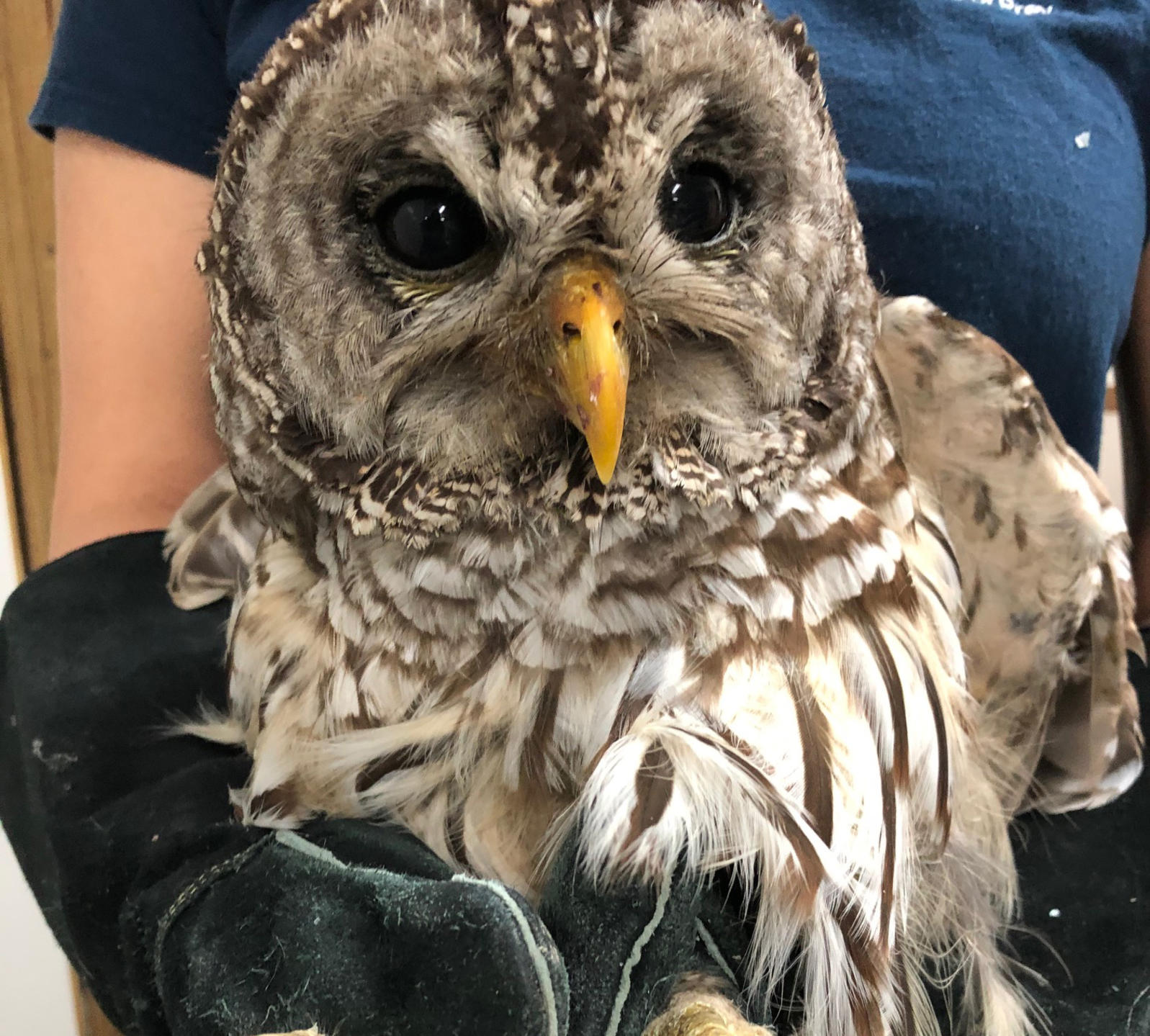 Barred Owl rescued by staff.