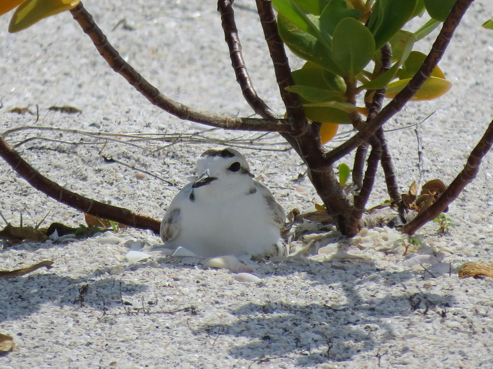 Snowy Plover incubating