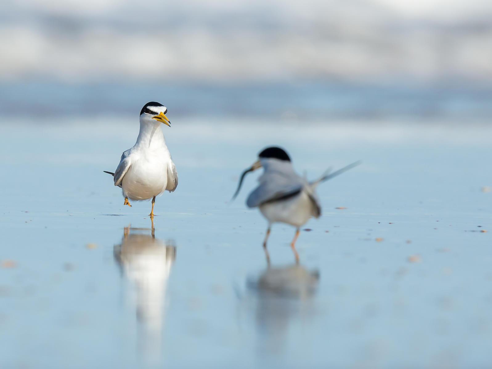 Least Terns on beach