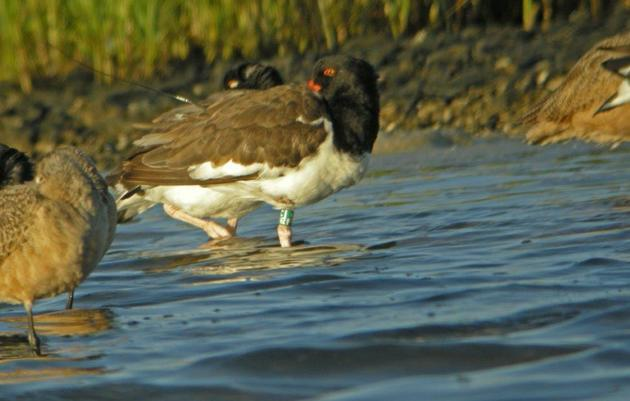"""Oreo"" the American Oystercatcher Arrives from North Carolina"