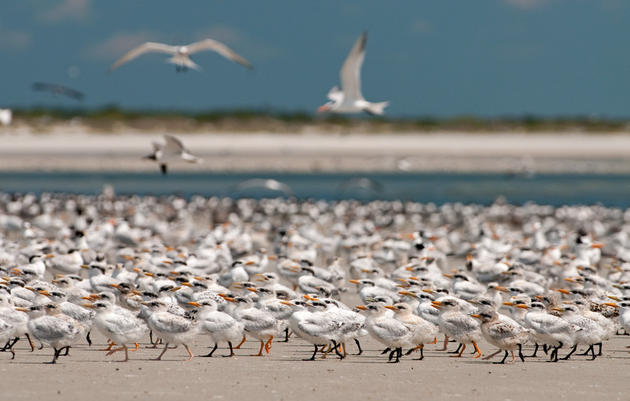 Sad News for Florida's Coastal Waterbirds in the Wake of Tropical Storm Debby