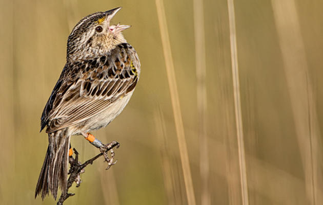 Citizen Scientists Needed to Help Florida Grasshopper Sparrows