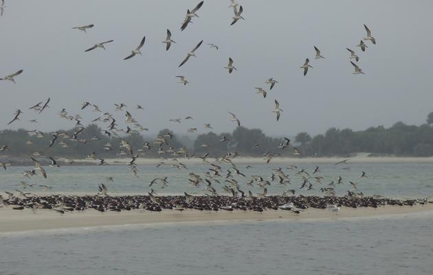 Florida's mid-winter survey: 39,000 shorebirds and counting!