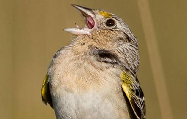Florida Grasshopper Sparrow, An Endangered Species in Free-Fall