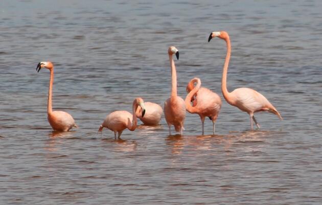 Flamingos Return to Palm Beach County