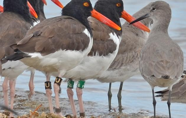 "Gulf Survey: Remarkable Winter Flocks and a Special Appearance from ""Oreo"""