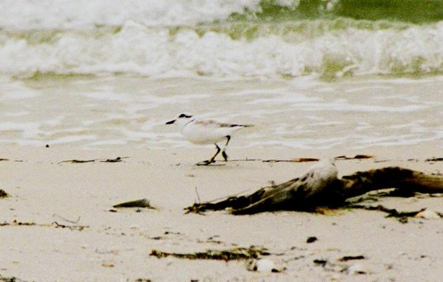 Banded Snowy Plovers Tell Story of Conservation in Florida