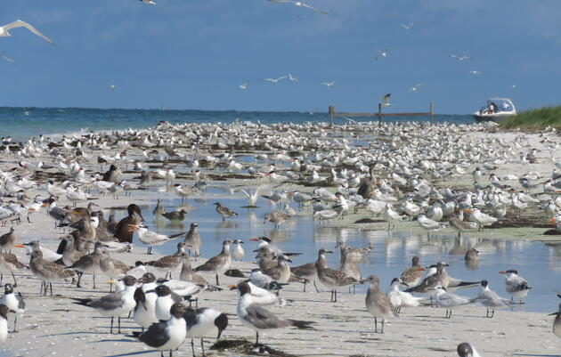 A Season in the Life of a Bird Biologist: Ally Kristan Discusses the Highs and Lows of a Barrier Island's Colonies