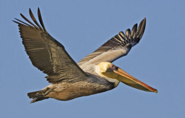 Good News for the Brown Pelican