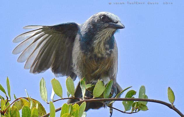 Audubon Jay Watch Partners to Restore Rare Scrub Habitat