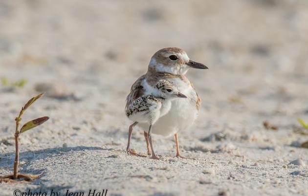 Help Protect Beach-nesting Birds Over Memorial Day Weekend!