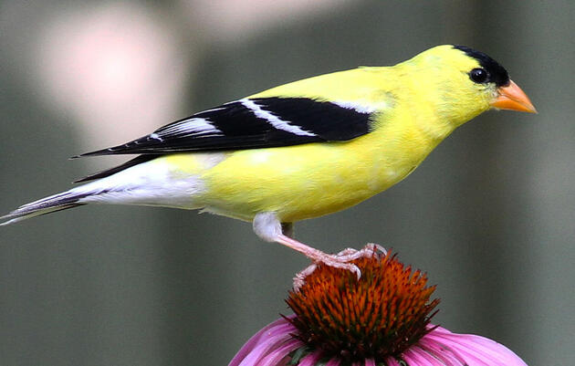 Audubon Florida Naturalist Magazine