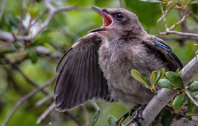 Audubon Jay Watch Annual Report