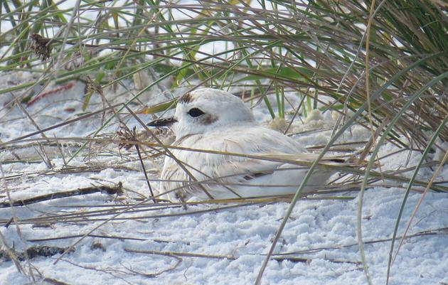A Tale of Three Snowy Plover Pairs: Nesting Begins at Siesta Beach