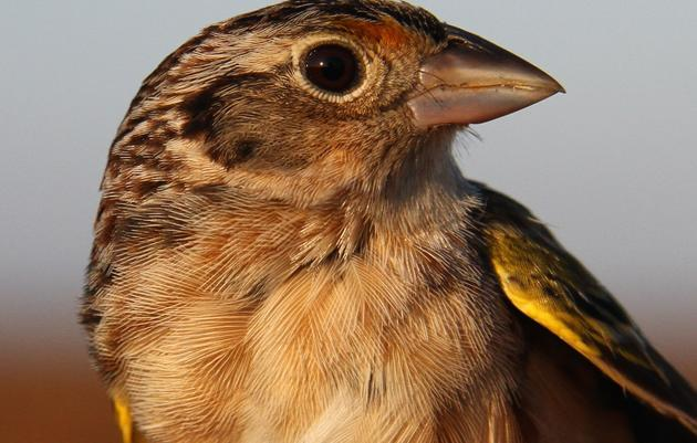 Captive-bred Florida Grasshopper Sparrows Released