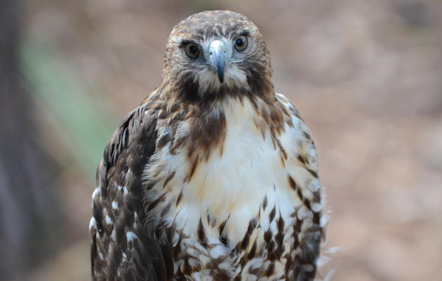 Adopt-a-Raptor with the Audubon Center for Birds of Prey