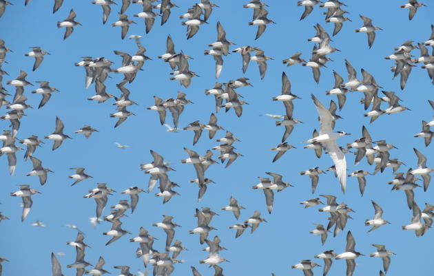 Red Knots Return to Outback Key after Devastating Red Tide Bloom in 2018