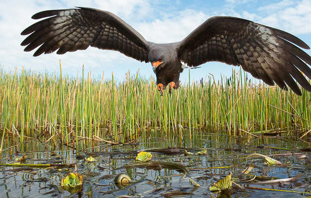 Terrible News: All Endangered Everglade Snail Kite Nests Lost on Florida's Lake Okeechobee