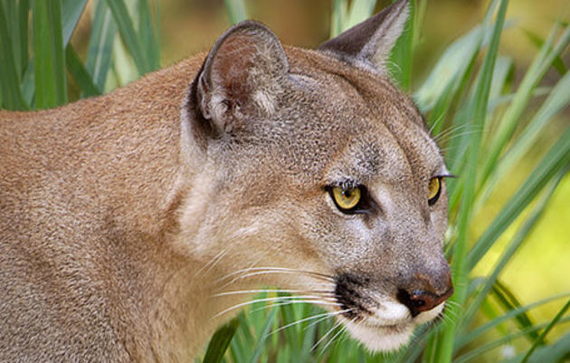FWC Adopts Audubon-Supported Panther Policies