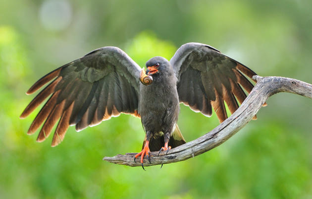 "Everglade Snail Kite Receives ""F"" Grade from National Research Council"
