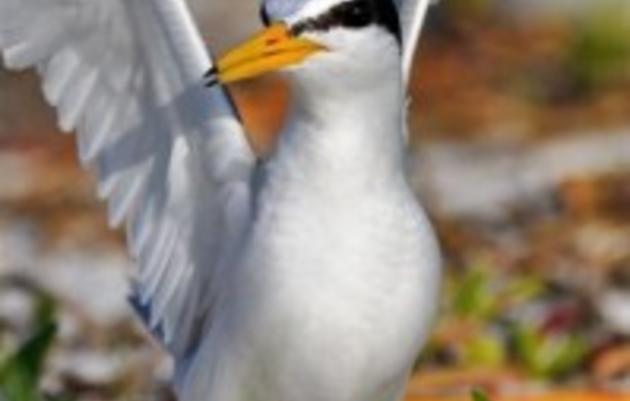Least Terns Get the Most From School