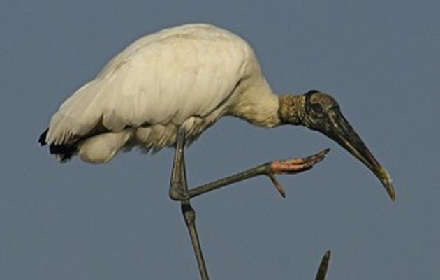 Audubon Submits 50 Years of Wood Stork Data to U.S. Fish and Wildlife Service