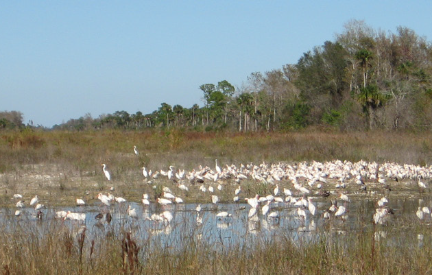 Picayune Strand Restoration Is a Keystone For the Everglades