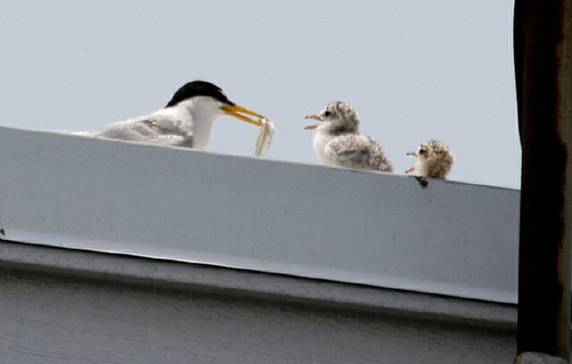 Florida's Rooftop-nesting Birds
