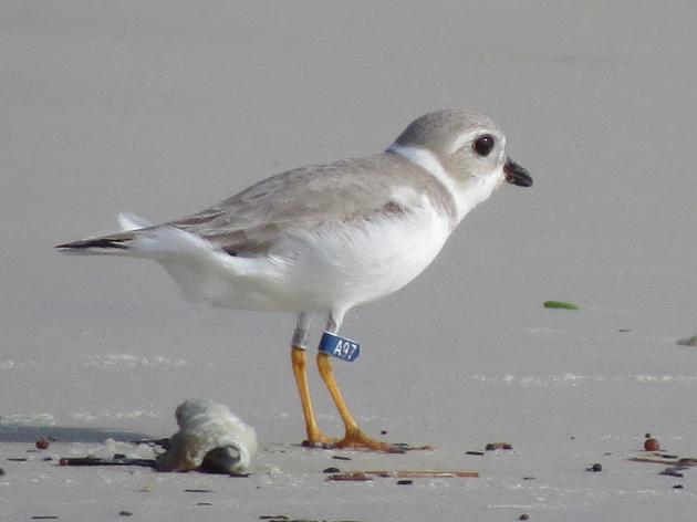A Piping Plover's Tale: A97